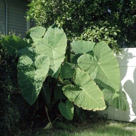 Big Leaves, from The Delta, New Orleans 2017